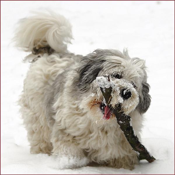 Polish sheepdog by colin beeley