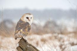 Barn Owl in snow