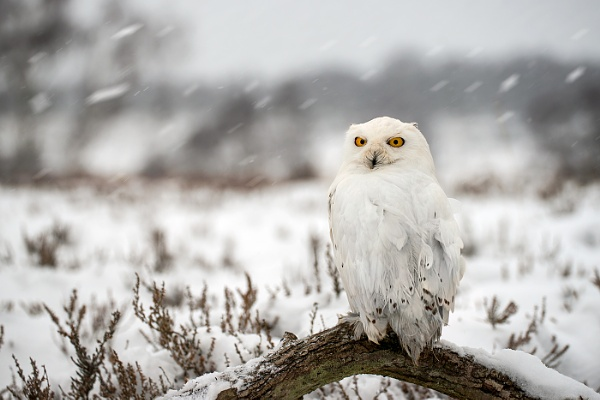 Winter Snowy Owl by mikepearce