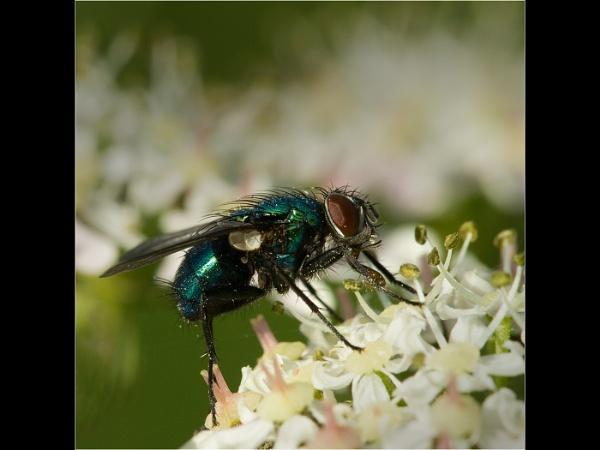 Green Bottle fly feeding by emlad