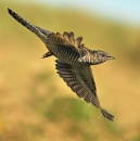 A cuckoo in flight