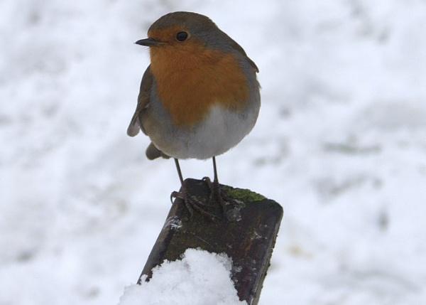 Winter friend by gardenersteve