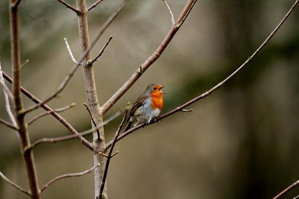 A singing Robin (erithcus rubecula) in the rain by johnybegood
