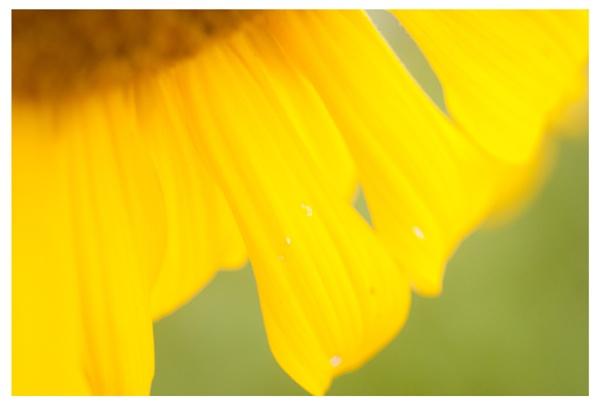 Sunflower by Shark_Teeth