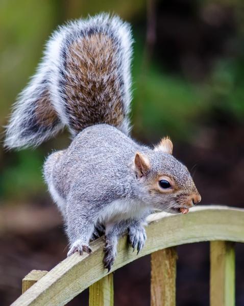 Peanut Thief - Grey Squirrel by pdsdigital
