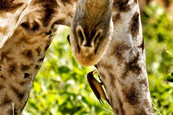 Giraffe and Oxpecker by pf