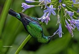 Thirsty Sunbird