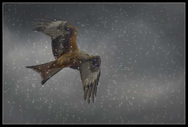 Red Kite in snow by Fotofunguy