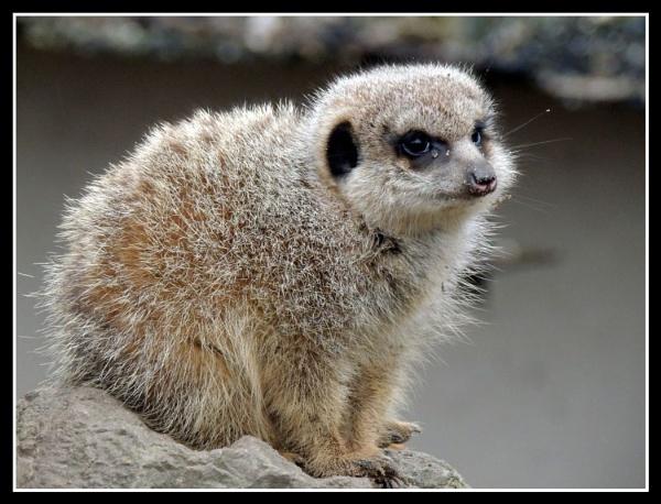Meerkat by kathrynlouise