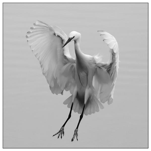 Little Egret by inde128