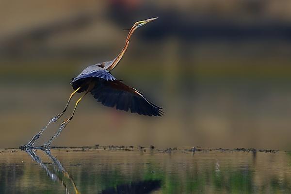 purple herone at flight moment by sarasij