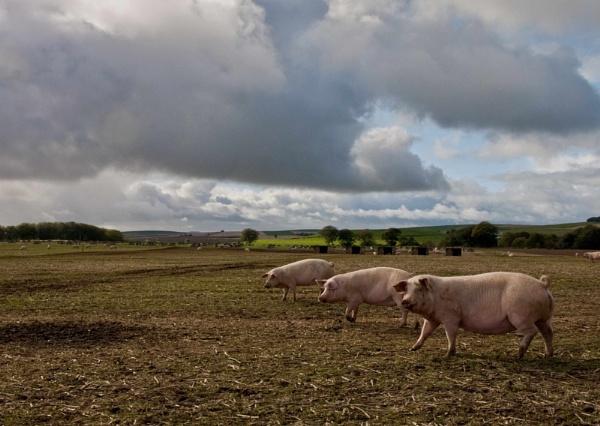 Three Little Pigs by paulmacbride
