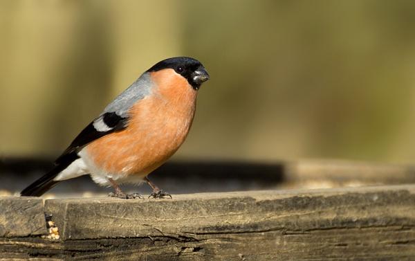 Bullfinch by BIGRY1