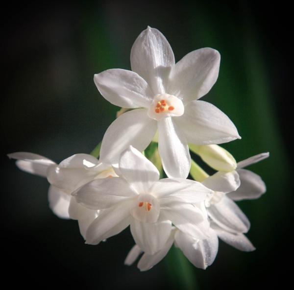 Narcissi by mashwood10