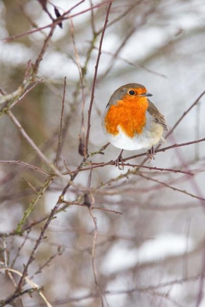 Robin 1 by photomunki