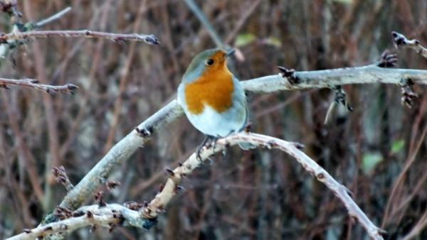 winter robin by kevlense
