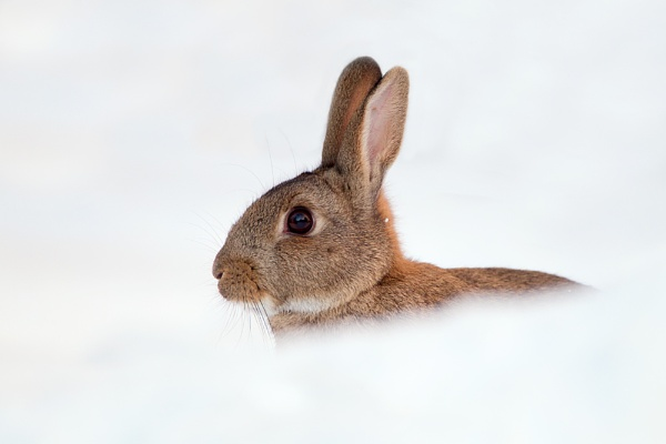 Rabbit in snow. by philmclean