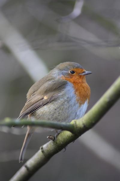 Robin in a Tree by gphussey