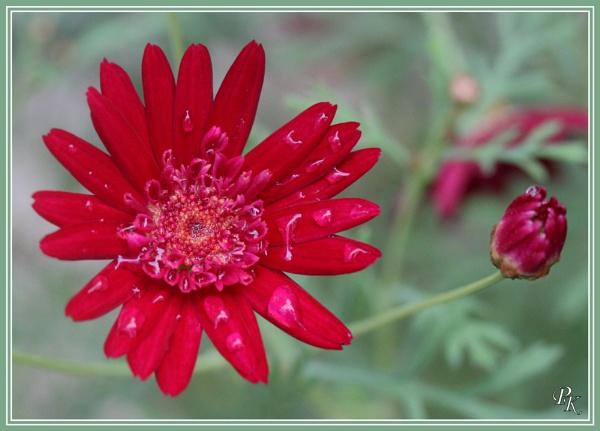 Sydney flower after rain by muonphil