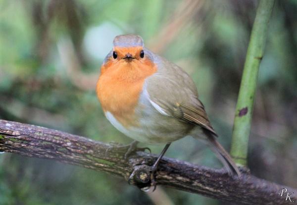 Friendly robin by muonphil