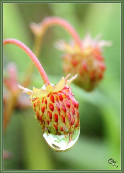 Wild strawberries by muonphil