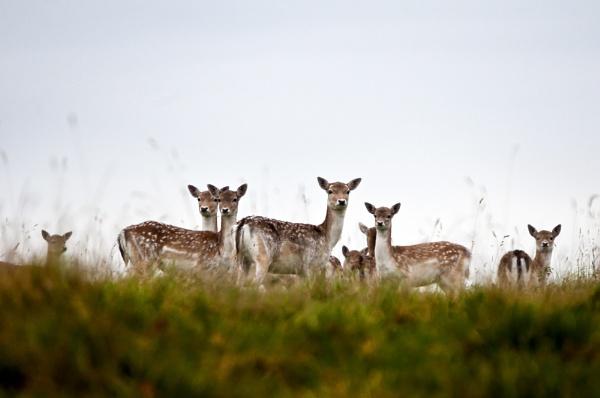 Deer by acbeat
