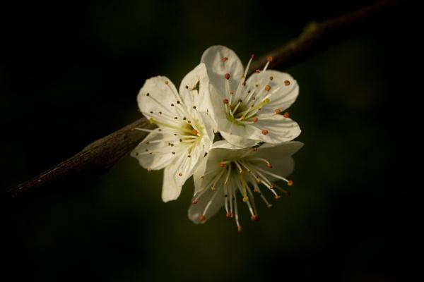 Blossom by Davestem