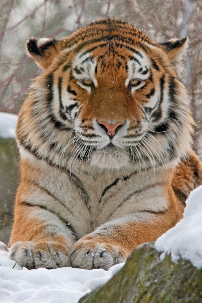 Amur tiger by Mike59