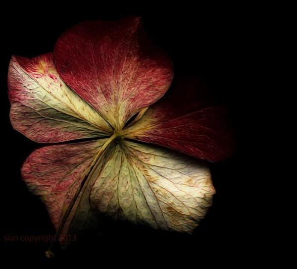 Hydrangea... by Sianp