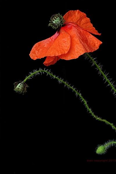 Poppy 2... by Sianp