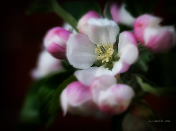 Blossom... by Sianp