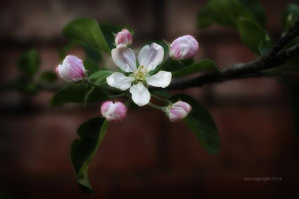 Blossom 2... by Sianp