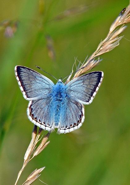 Chalkhill Blue by chalkhillblue
