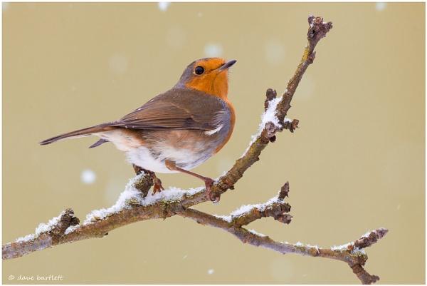 Snowy robin by DaveBartlett