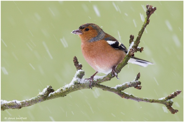 Chaffinch in the snow by DaveBartlett