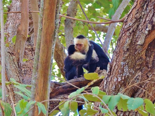 Capuchin Love by roddaut