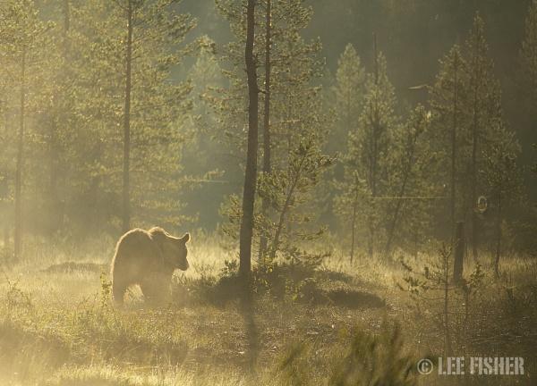 GOLDEN BEAR by LeeFisher