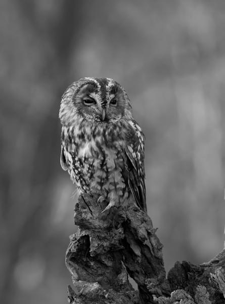 Tawny Owl (Strix aluco) by Ray_Seagrove
