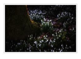 galanthus carpet