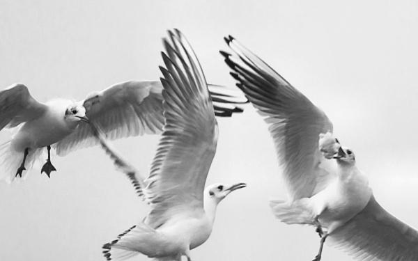 Squabbling Gulls by brian1208