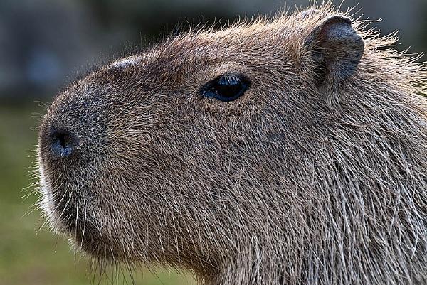 Capybara by icphoto