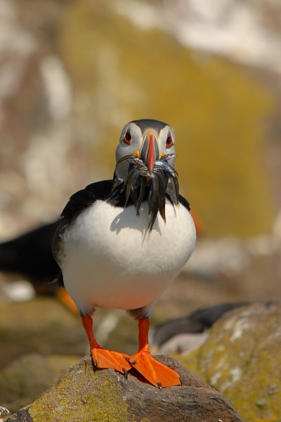 Puffin by pudd64