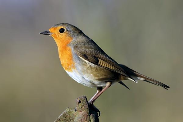 Robin by jcorn3