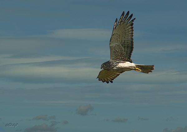 Harrier Hawk1292 by paulknight