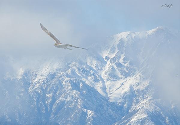 Hawk & snow on the Tararuas 0447 by paulknight