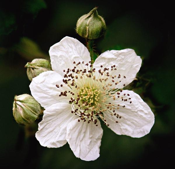 Bramble Blossom by MariaElaine