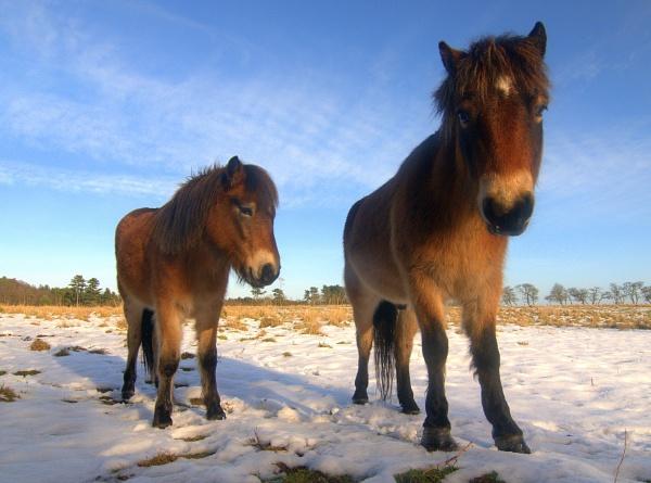 Dartmoor Ponies, Dunwich by mikeb3