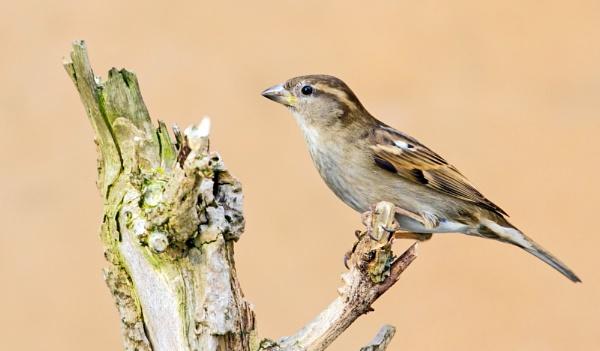 Sparrow 2 by gilbertmjake