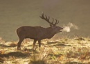 Belowing Red Deer Stag