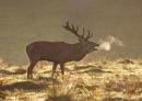 Belowing Red Deer Stag
